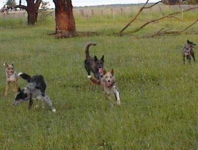Five Australian Koolies are running around an open field with a big tree behind them