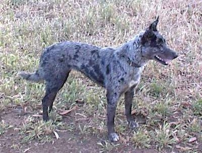 Side view - A panting gray merle colored Australian Koolie is standing in grass facing the right.