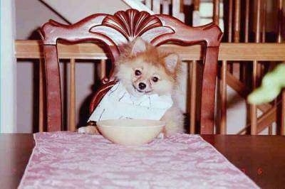 A Pomeranian dog sitting on a wooden chair up at a dinner table and wearing a bib with a cereal bowl in front of it