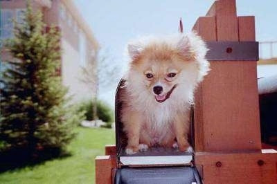 A tan with white Pomeranian dog is sitting inside of a mailbox