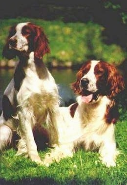 Two white with red Irish Setters are sitting and laying next to each other in grass in front of a body of water.