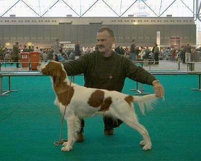 A white with red Irish Setter is being posed in a stack by a person out in the ring at a dog show.