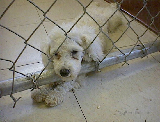 A little white poodle laying down on a white tile floor with her nose though a chain link fence