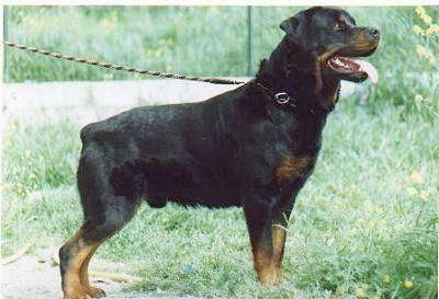 Right Profile - A black and tan Rottweiler is standing in grass, it is looking to the right and it is panting. The dog's tail is cut very short so you can hardly see it.