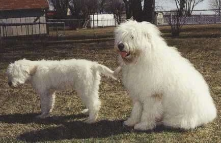 The left side of a white South Russian Ovtcharka puppy that is standing across a yard, to the right of it is an adult large breed white South Russian Ovtcharka dog. They are both looking to the right.