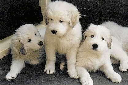 Three fluffy little South Russian Ovtcharka puppies are sitting and standing on a front porch.