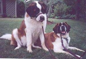 Two huge brown with white and black Saint Bernards are laying and sitting in a yard. They have gental leaders wrapped around their snouts.