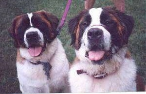Close up front view head and upper body shots - Two brown with white and black Saint Bernards are sitting in grass, they are looking up and they both are panting.