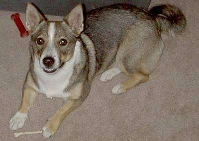 Top down view of a short legged, low to the ground, black, tan and white Swedish Vallhund dog laying across a carpeted surface and behind it is a couch. It is looking up and its mouth is slightly open. There is a bone under its front paw. It has perk ears and a ring tail and wide brown eyes.