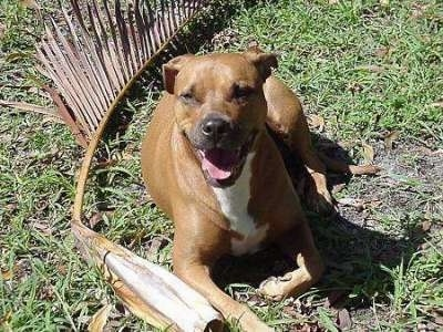 A large breed, brown with white Staffordshire Terrier is laying in grass, there is a long tree limb behind it, the dog is looking forward, its mouth is open and it looks like it is smiling.