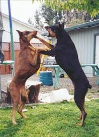A black with tan and a brown with tan Doberman are in their hind legs jumping at each other outside in grass.
