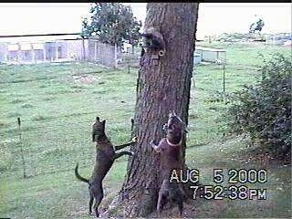 Two Blue Lacy dogs jumping up at a tree barking at an animal in it which is on the side of the tree