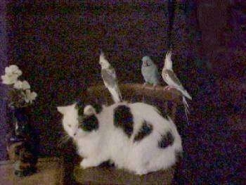 A cat sitting on a kitchen chair with three birds on the back of the chair