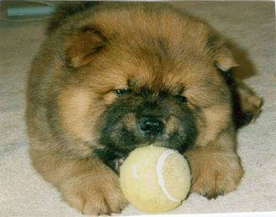 Close Up - Caboose the Chow Chow Puppy is laying on a carpet and there is a tennis ball in his mouth