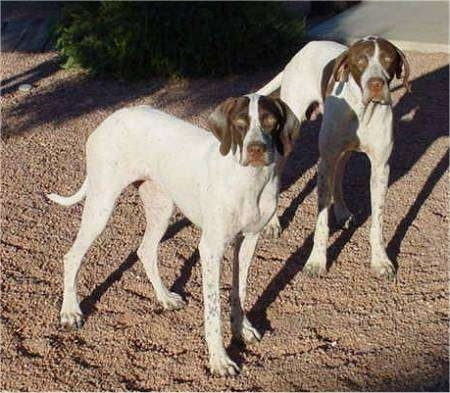 Two white with brown Pointers are standing in dirt and they are looking forward.