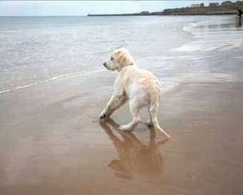 A cream Golden Retriever puppy is standing on a beach and moving away from water