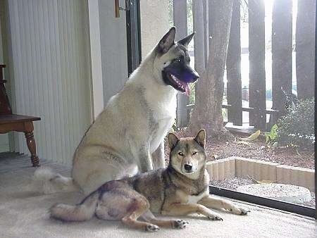 Two dogs, Hachi the Akita Inu and Shin the Shikoku, waiting by a window. One dog looking out the window and One dog laying on the carpet