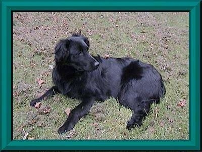 Side view - A medium-haired, black Great Pyrenees mix is laying in grass and it is looking behind itself.