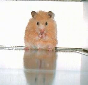 A fluffy, tan hamster is sitting on its backside and it is chewing an item in between its front paw.