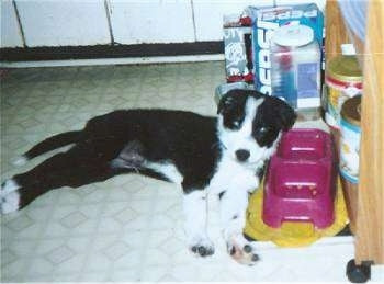 A small, black with white Border Collie/Rottweiler mix puppy is laying on its left side with its head up in front of a pink food/water bowl.