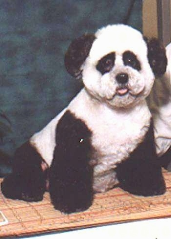A dog dyed like a panda bear is sitting on a rug in front of a backdrop