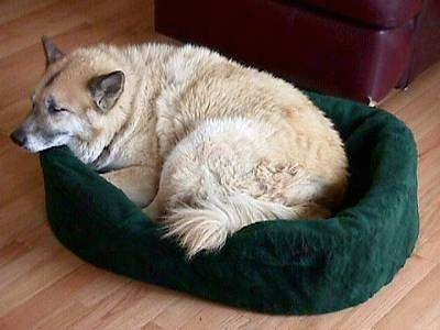 The left side of a thick-coated, tan with white dog that is laying in a green dog bed.