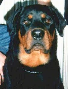 Close up head shot - A black and tan Rottweiler is sitting in a room and it is looking forward.