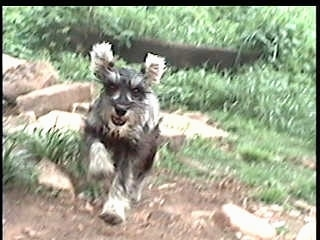 A Miniature Schnauzer is running up a hill. Its mouth is open and all four paws are off of the ground.