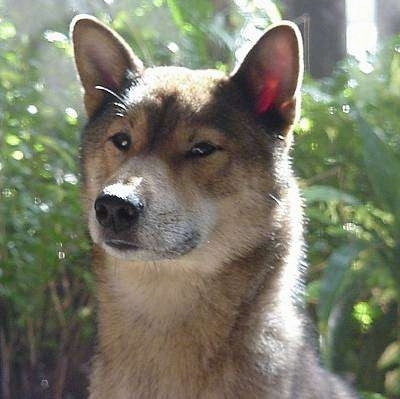Close up head shot - A tan with black and white Shikoku dog  looking to the left. It has a short thick coat and small rounded perk ears.