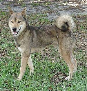 The left side of a tan with black and white Shikoku is standing across grass and it is looking forward. Its mouth is open and it looks like it is smiling. Its tail is curled up over its back.