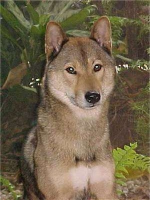Close up - A tan with black and white Shikoku dog that is sitting outside in front of bushes. Its eyes are brown and almond shaped and it has small rounded bat perk ears and a black nose.