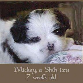 A fuzzy little white and black Shih-Tzu puppy is laying on a pillow and looking forward. The words - Micket, a Shih Tzu 7 weeks old - are overlayed at the bottom of the image.