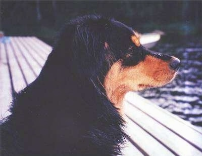 Close up - The front right side of a black and tan Small Greek Domestic Dog that is sitting on a wooden dock and it is looking out into the water.