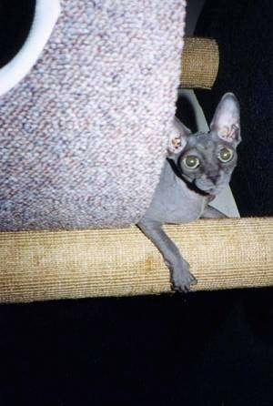 Storm the hairless Sphynx cat is laying on a scratching post
