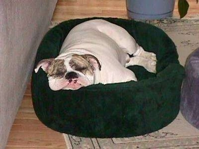 Spike the Bulldog is sleeping in a green dog bed with his big fat head flat across the side.