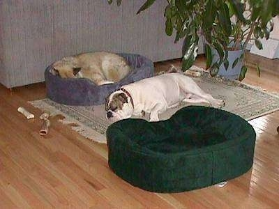 A tan with white dog is sleeping in a blue dog bed and sleeping next to him on top of a rug is Spike the Bulldog. There is an empty green dog bed next to Spike.