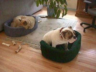 A tan with white dog is sleeping in a blue dog bed on top of a rug and across from him is Spike the Bulldog who is sitting in a green dog bed looking to the right.