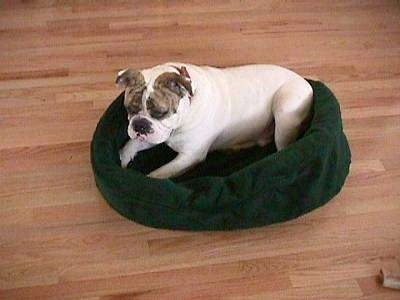 The left side of Spike the Bulldog who is laying in a green dog bed looking down and to the left