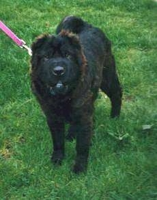 Front view - A black Chinese Shar-Pei dog is standing outside in grass, it is looking forward and up. It looks like an Ewok with its bottom white teeth showing.