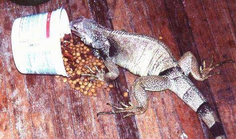 An iguana is standing on a hardwood floor overtop of a fallen bowl of dog food.