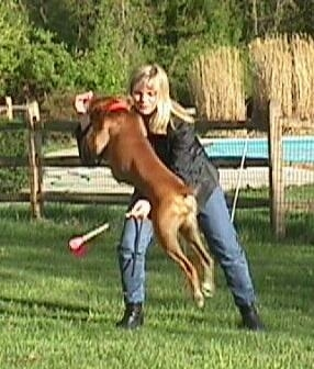 Allie the Boxer is beginning to jump over a baton being held by her owner.