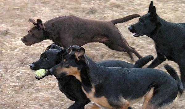 Four dogs running across a yard. One dog has a tennis ball in its mouth