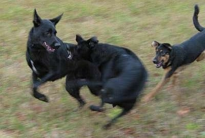 Action shot - Two black with white Labrador/German Shepherds are biting at each other. Three dogs are running at each other across grass.