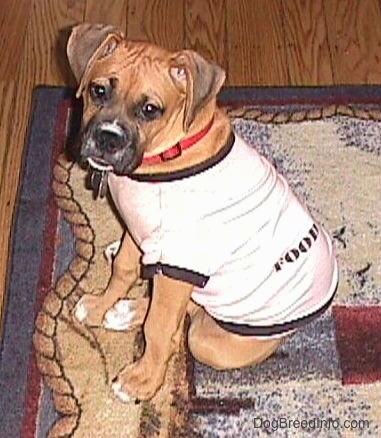 Allie the Boxer is sitting on a rug and wearing a pink cotton shirt wear the sleeves and neck holes are accented with black and looking to the side