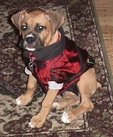 Allie the Boxer is sitting on a rug wearing a shiny maroon and black doggie hoodie and the hood is tucked in