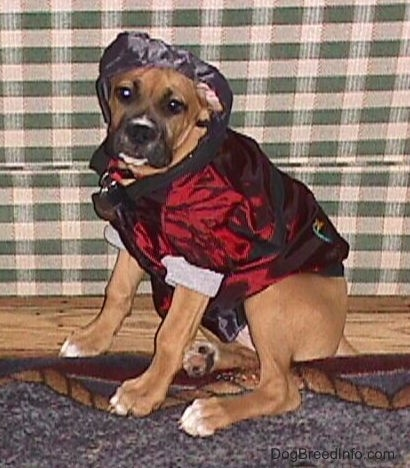 Allie the Boxer is sitting in front of a couch and wearing a shiny maroon and black doggie hoodie with the black hood up