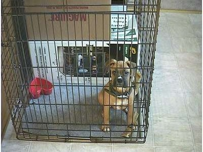 Allie the Boxer Puppy sitting in a dog crate looking at the camera holder