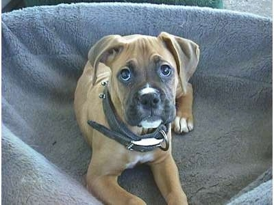 Allie the Boxer as a Puppy laying in a dog bed and looking at the camera holder