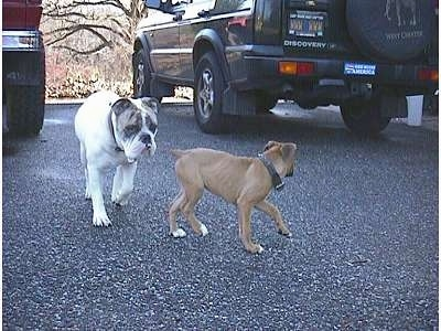 Spike the Bulldog is following Allie the Boxer Puppy. Allie is looking back at Spike