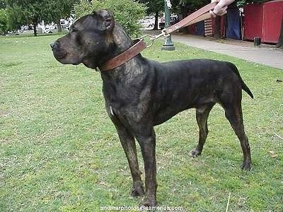 Bes the Presa Canario is standing in grass wearing a leather collar and short leash with a bush and light post behind it